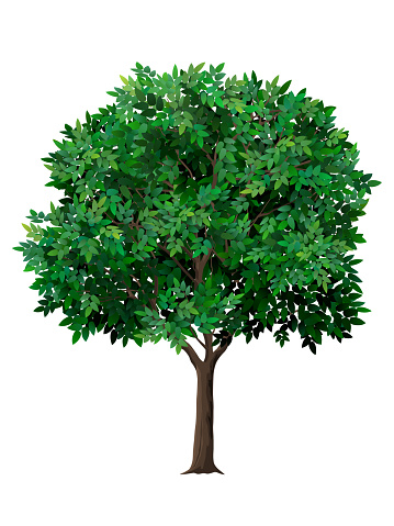 Vector realistic tree with green leaves.