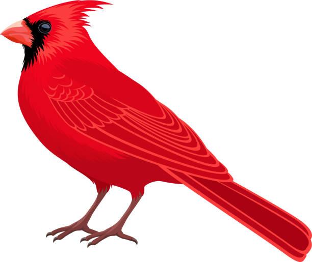 stockillustraties, clipart, cartoons en iconen met vector rode mannelijke noordelijke kardinaal-staat vogel - zangvogel