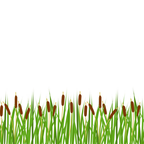 Cattails Stock Illustrations – 506 Cattails Stock Illustrations, Vectors &  Clipart - Dreamstime