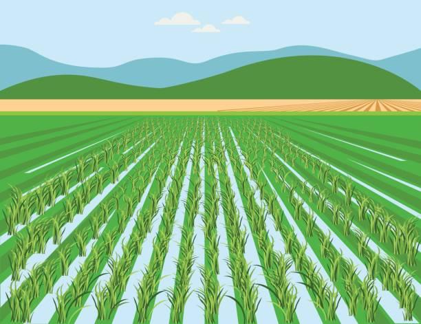 illustrations, cliparts, dessins animés et icônes de champ de riz vectoriel - risotto