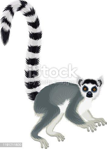 Vector ring-tailed Madagascar lemur illustration (Lemur catta)