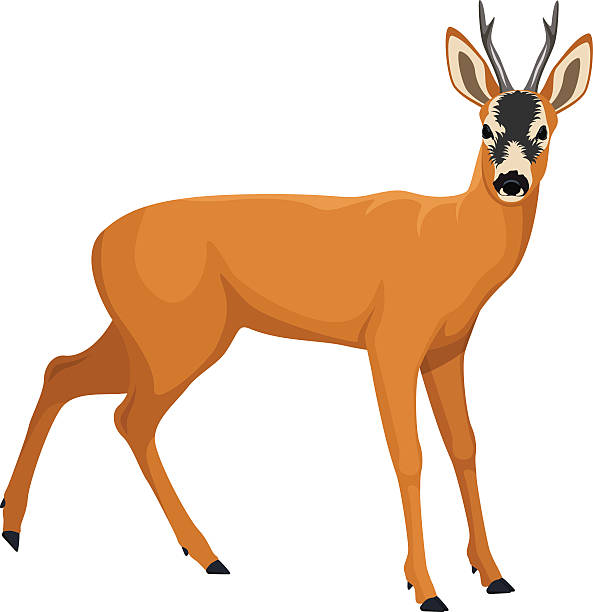 vector roe deer - reh stock-grafiken, -clipart, -cartoons und -symbole