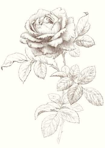 Vector Rose.