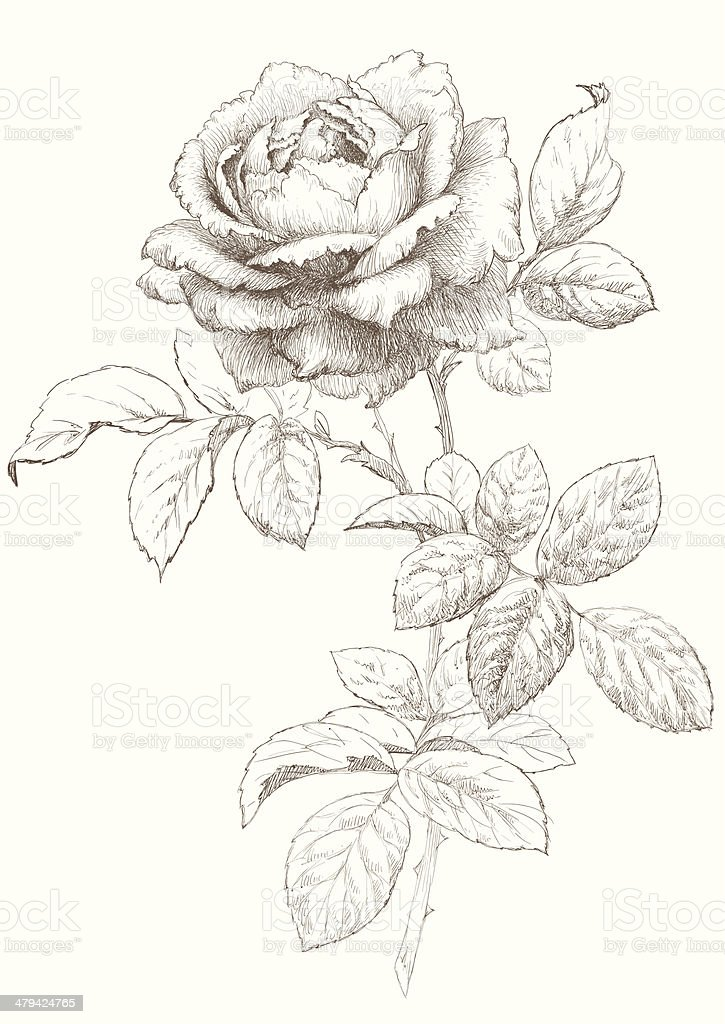 Vector Rose. vector art illustration