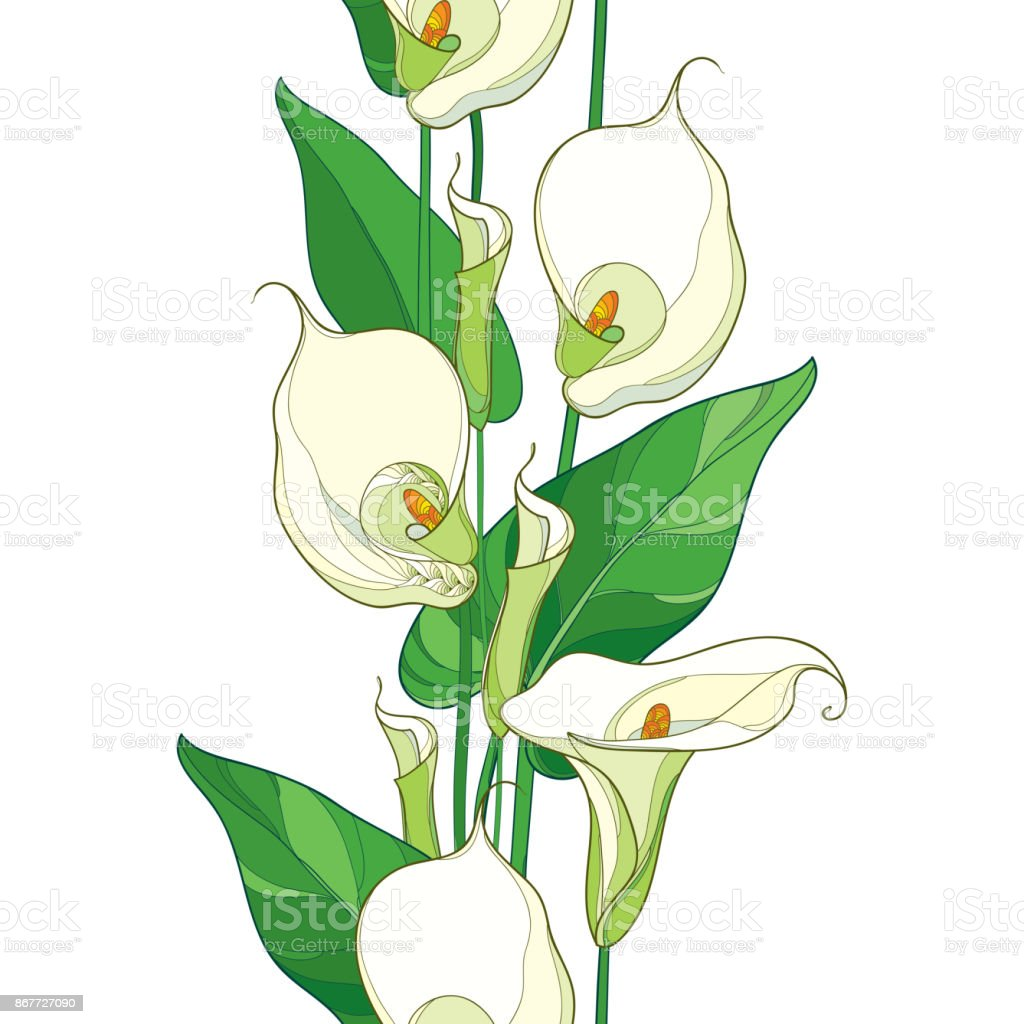 Vector Seamless Pattern With Outline Calla Lily Flower Or ...