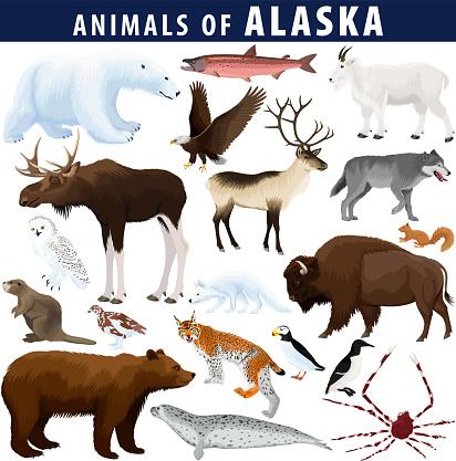vector set - animals of Alaska: polar bear, bald eagle, moose, lynx, beaver, crab, arctic fox, snowy owl, seal, bison, grizzly bear, mountain goat, reindeer, grey wolf, willow ptarmigan, king salmon