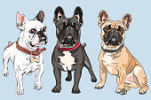 Vector set of white, fawn and black dogs French Bulldog breed, the most common colouring