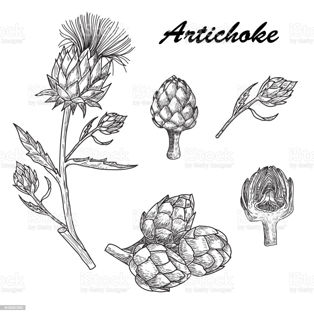 Vector set hand drawn artichoke illustration vector art illustration