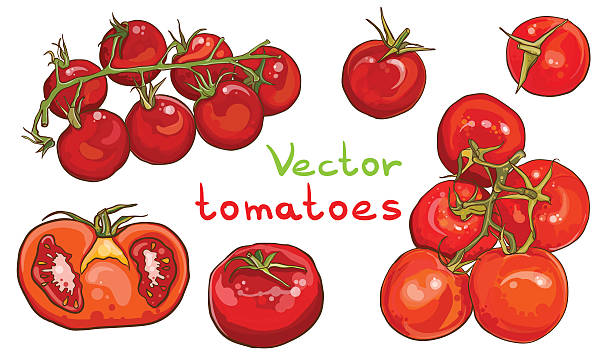 vector set. illustration of cherry tomatoes and tomatoes. - cherry tomato stock illustrations