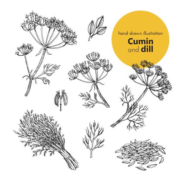 vector set illustration of cumin and dill spices hand drawn illustration of cumin and dill spices. vector illustration set for design dill stock illustrations