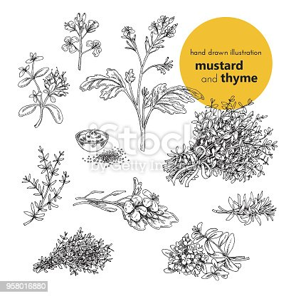 hand drawn illustration of mustard and thyme spices. vector illustration set for design