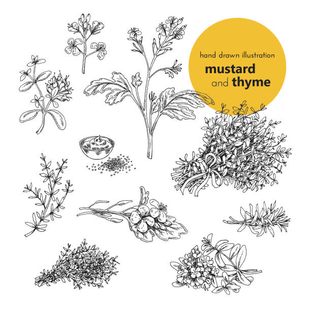 vector set illustration of mustard and thyme spices hand drawn illustration of mustard and thyme spices. vector illustration set for design thyme stock illustrations