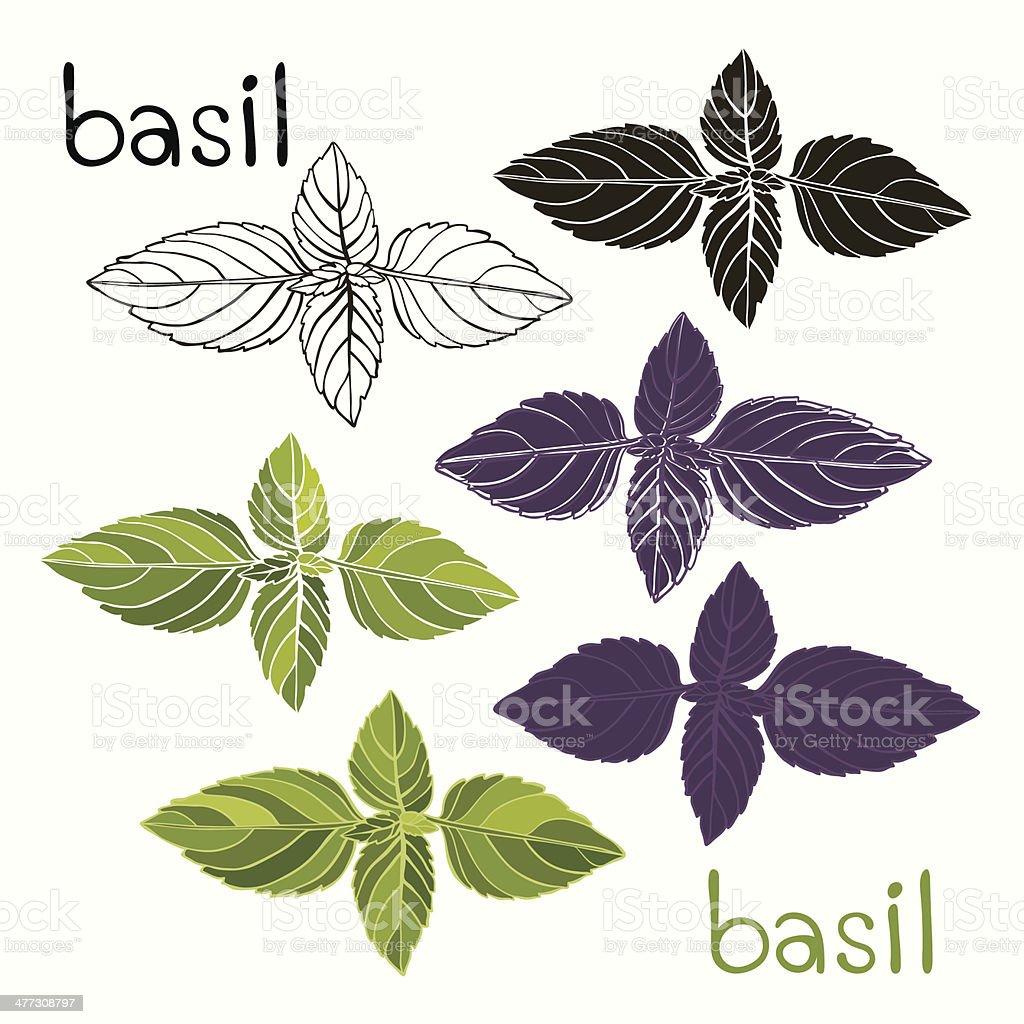 Vector set of basil on a white background vector art illustration