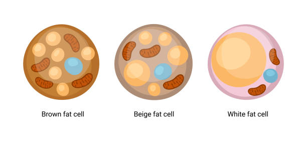 Vector set of brown, beige and white fat cells. Illustration of adipose tissue Vector set of brown, beige and white fat cells. Illustration of adipose tissue adipose cell stock illustrations
