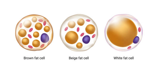 Vector set of brown, beige and white fat cells. Illustration of adipose tissue Vector set of brown, beige and white fat cells. Illustration of adipose tissue lipid stock illustrations