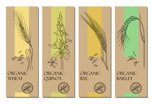 ilustrações de stock, clip art, desenhos animados e ícones de vector set of cereal labels with grains and plants sketches: wheat, quinoa, rye and barley - quinoa