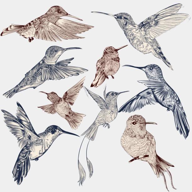 vector set of detailed hand drawn birds for design - hummingbird stock illustrations