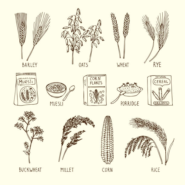 ilustrações de stock, clip art, desenhos animados e ícones de vector set of different cereals. muesli, wheat, rice and others. hand drawn illustrations - muesli