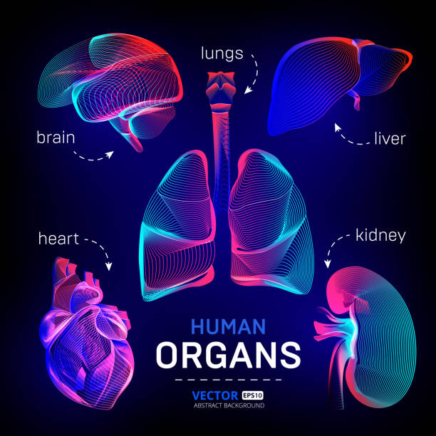 Vector set of different human inner organs contour or wireframe for medical infographics in abstract 3d geometry lines texture and outline gradient waves graphic design illustration on dark background Vector set of different human inner organs contour or wireframe for medical infographics in abstract 3d geometry lines texture and outline gradient waves graphic design illustration on dark background lung stock illustrations