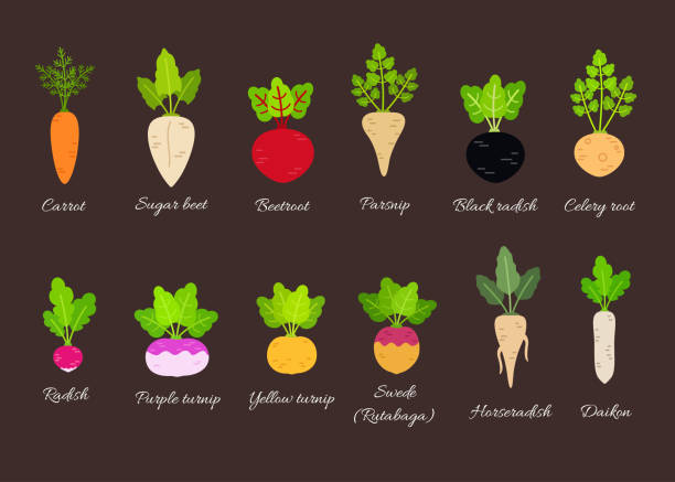 Vector set of different root vegetables Collection of different root vegetables with titles. Vector illustration in flat style horseradish stock illustrations