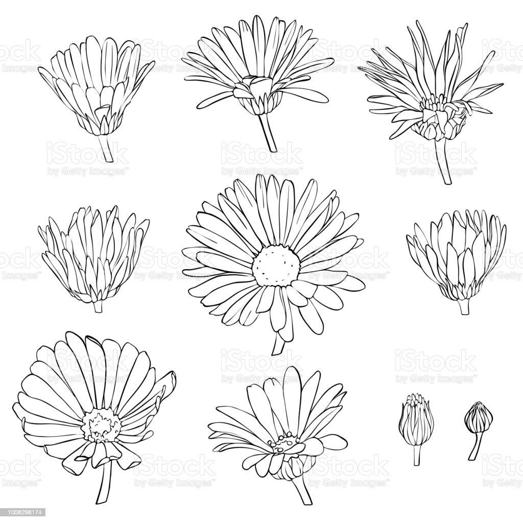 Vektorset Von Calendula Blumen Zeichnen Stock Vektor Art Und Mehr