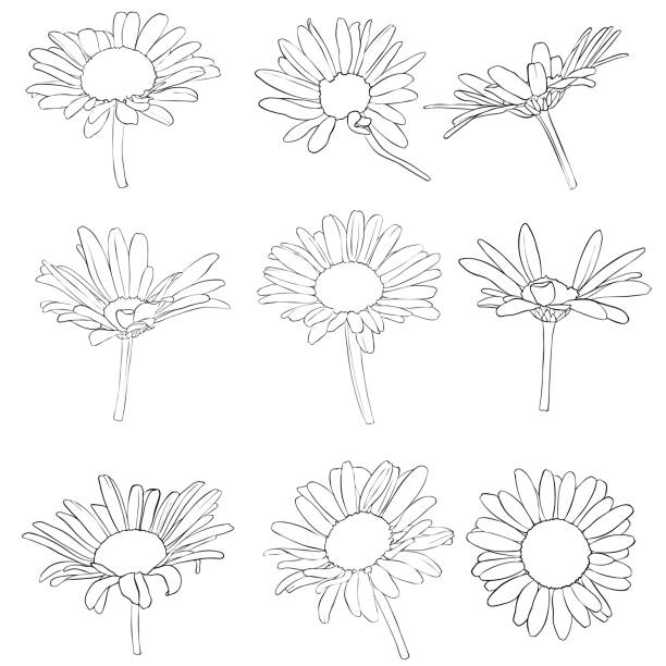 vector set of drawing daisy flowers vector set of drawing daisy flowers, floral elements, hand drawn botanical illustration daisy stock illustrations