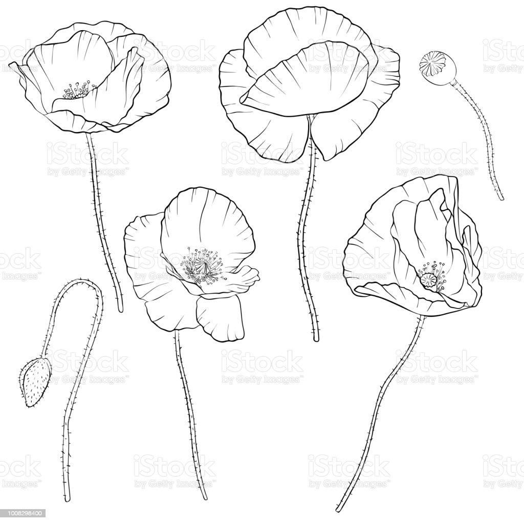 Vektorset Von Mohn Blumen Zeichnen Stock Vektor Art Und Mehr Bilder