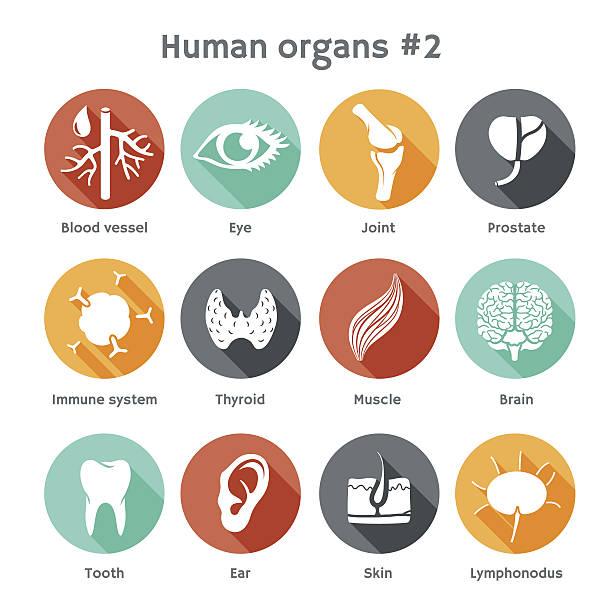 ilustraciones, imágenes clip art, dibujos animados e iconos de stock de vector conjunto de iconos plana de órganos humanos - órgano interno humano