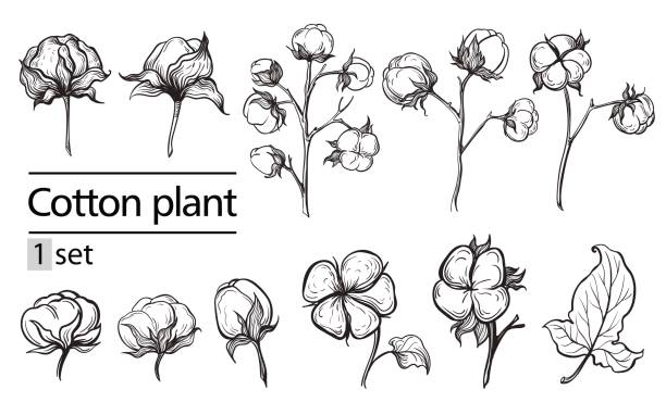 Vector set of hand draw ink cotton plant and lettering Vector set of hand draw ink cotton plant and lettering. Botanical illustrations. cottonwood tree stock illustrations