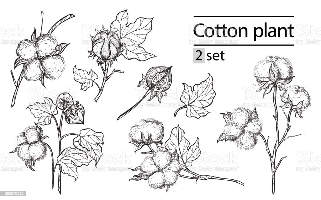 Vector set of hand draw ink cotton plant and lettering vector art illustration
