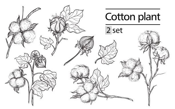 Vektor-Set von Hand zu zeichnen, Tinte Baumwollpflanze und Schriftzug – Vektorgrafik