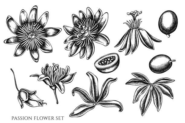 illustrazioni stock, clip art, cartoni animati e icone di tendenza di vector set of hand drawn black and white passion flower - illustrazioni di passiflora