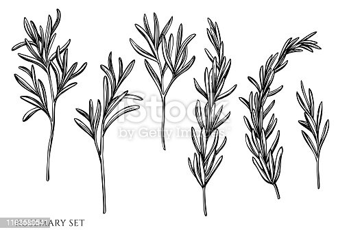 Vector set of hand drawn black and white rosemary stock illustration