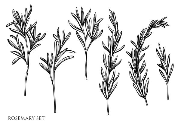 Vector set of hand drawn black and white rosemary Vector set of hand drawn black and white rosemary stock illustration cooking black and white stock illustrations