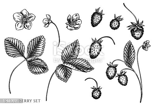 Vector set of hand drawn black and white strawberry stock illustration