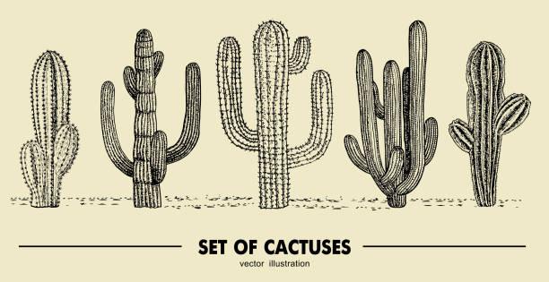 stockillustraties, clipart, cartoons en iconen met vector set hand getekende cactus. schets illustratie. verschillende cactussen in zwart-wit stijl - cactus