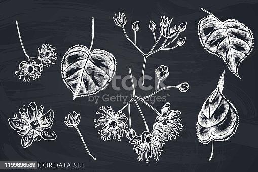 Vector set of hand drawn chalk tilia cordata stock illustration
