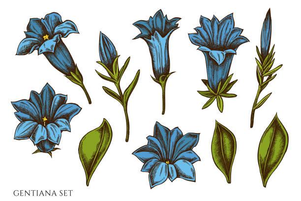 stockillustraties, clipart, cartoons en iconen met vector set van de hand getekend gekleurde gentiana - gentiaan