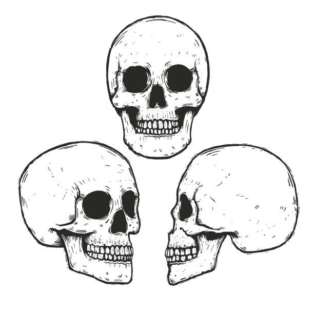 Human Skull Illustrations, Royalty-Free Vector Graphics
