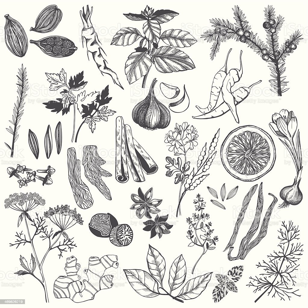 Vector set of hand drawn spices and herb vector art illustration
