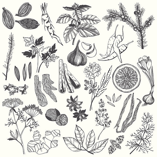 Vector set of hand drawn spices and herb Vector set of hand drawn spices and herb isolated on white background dill stock illustrations