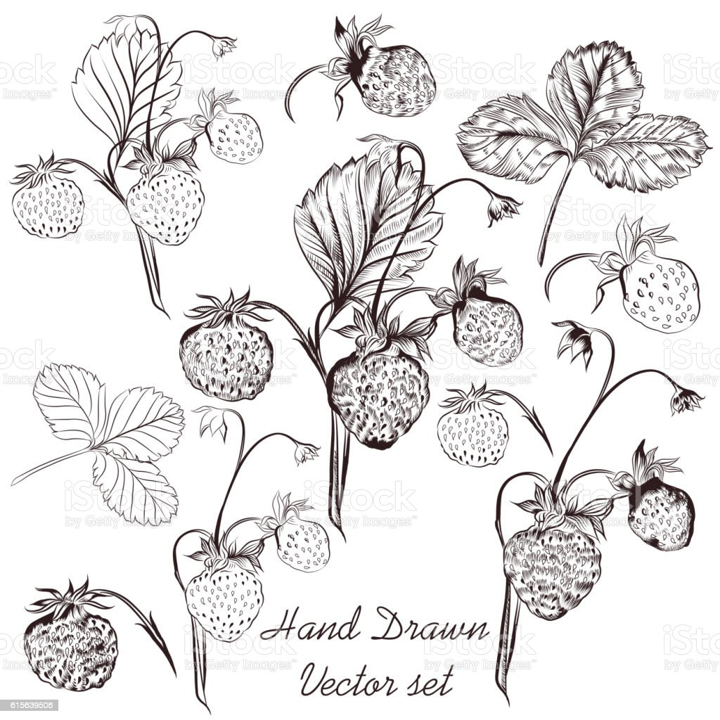 Vector set of hand drawn strawberry plants for design vector art illustration