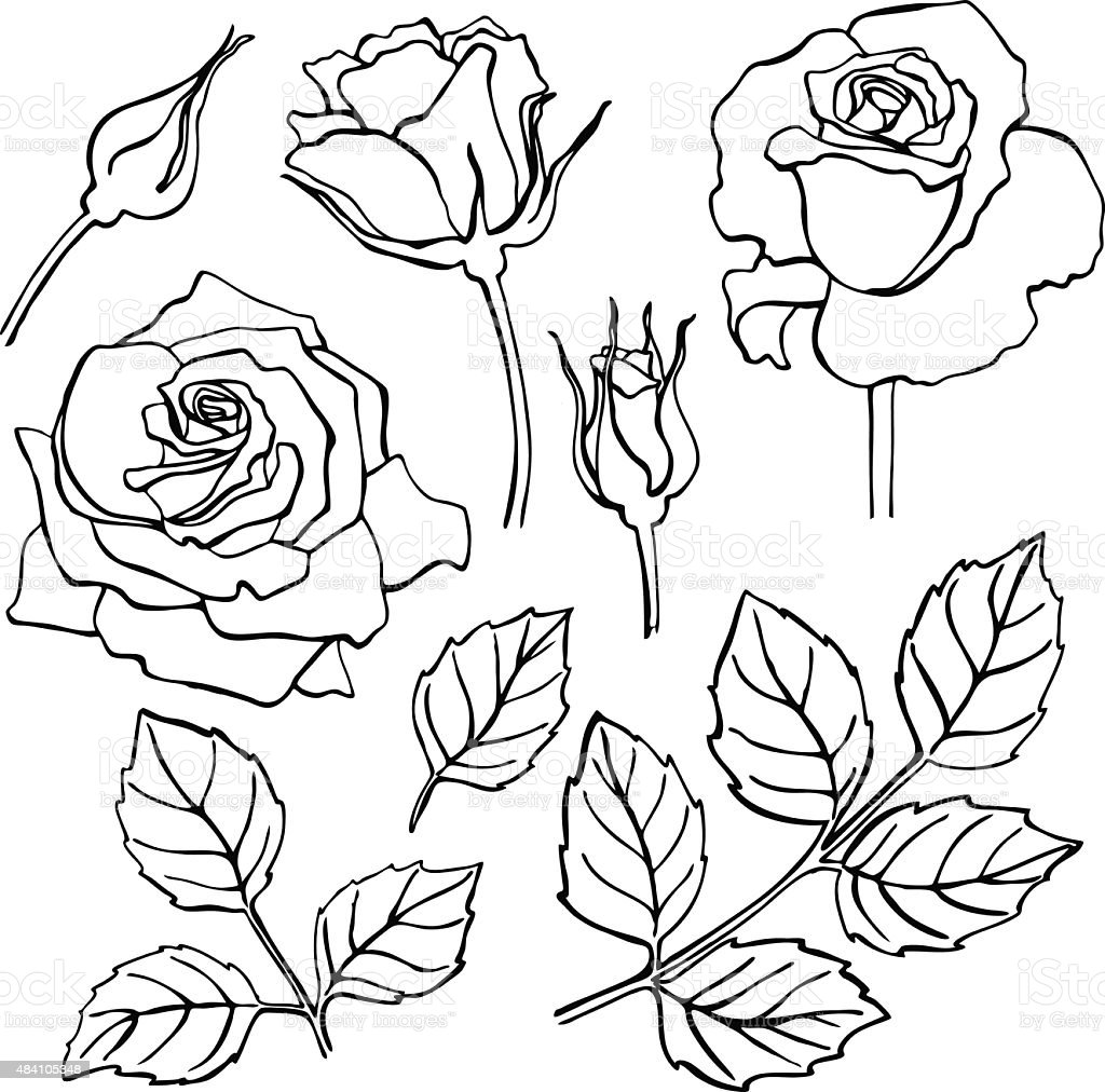 Line Drawing Of Rose Plant : Vector set of handdraw line rose collection stock