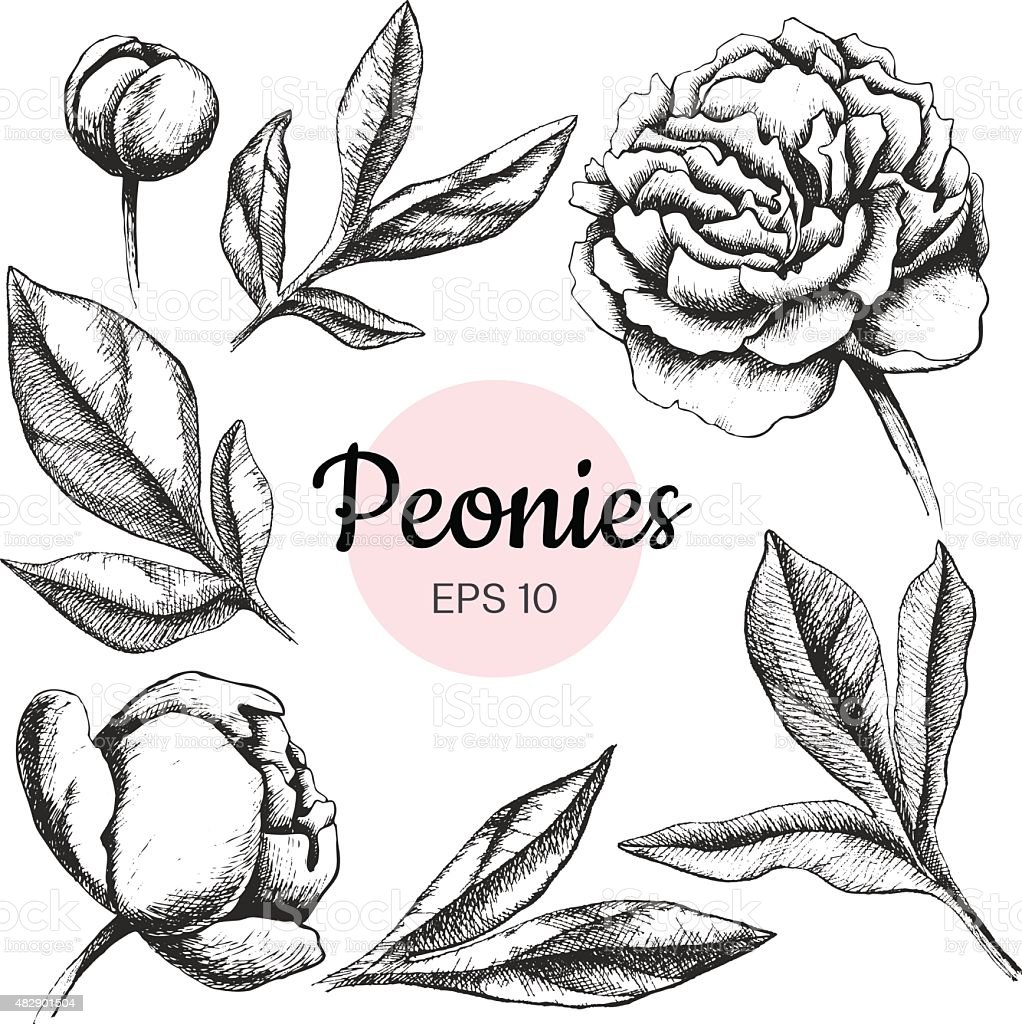 Vector set of ink peony flowers and leaves isolated vector art illustration