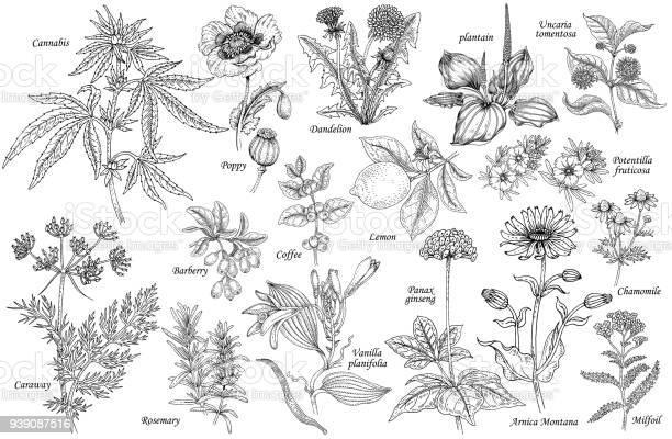Vector set of medicinal plants vector id939087516?b=1&k=6&m=939087516&s=612x612&h=xrissmvu1tjtsipvzeleemutxmqgwtlxpid7prmx6ri=