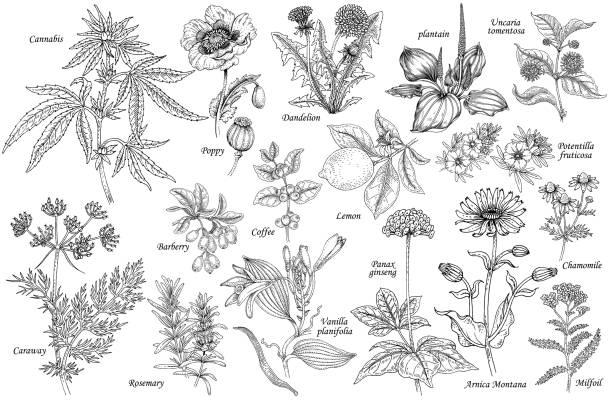 ilustrações, clipart, desenhos animados e ícones de vetor de um conjunto de plantas medicinais. - papoula planta