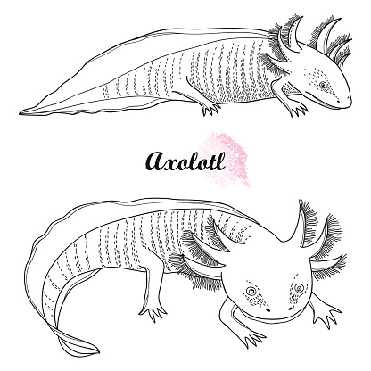 Vector set of outline Mexican axolotl or walking fish in black isolated on white background.