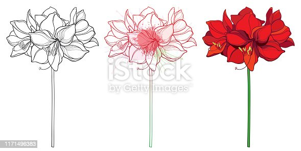 Vector set of outline tropical bulbous Amaryllis or belladonna Lily flower bunch and leaf in black, red and pastel isolated on white background. Ornate contour Amaryllis for summer coloring book.