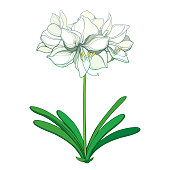Vector set of outline tropical bulbous Amaryllis or belladonna Lily flower bunch, bud and leaf in black isolated on white background. Ornate contour Amaryllis plant for summer design or coloring book.