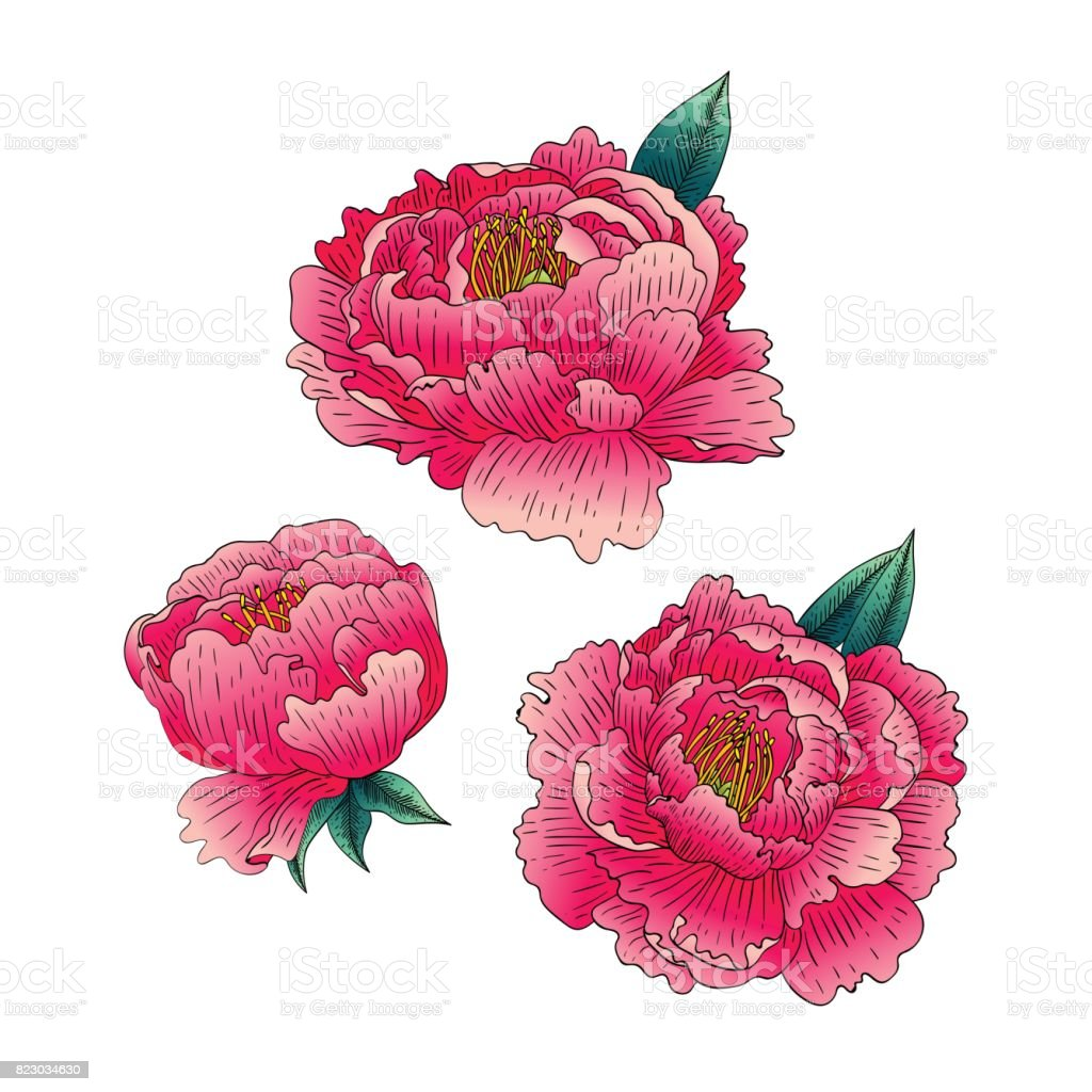 Vector Set Of Peonies Flowers Isolated On White Background Stock
